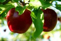 77dwa jablka10